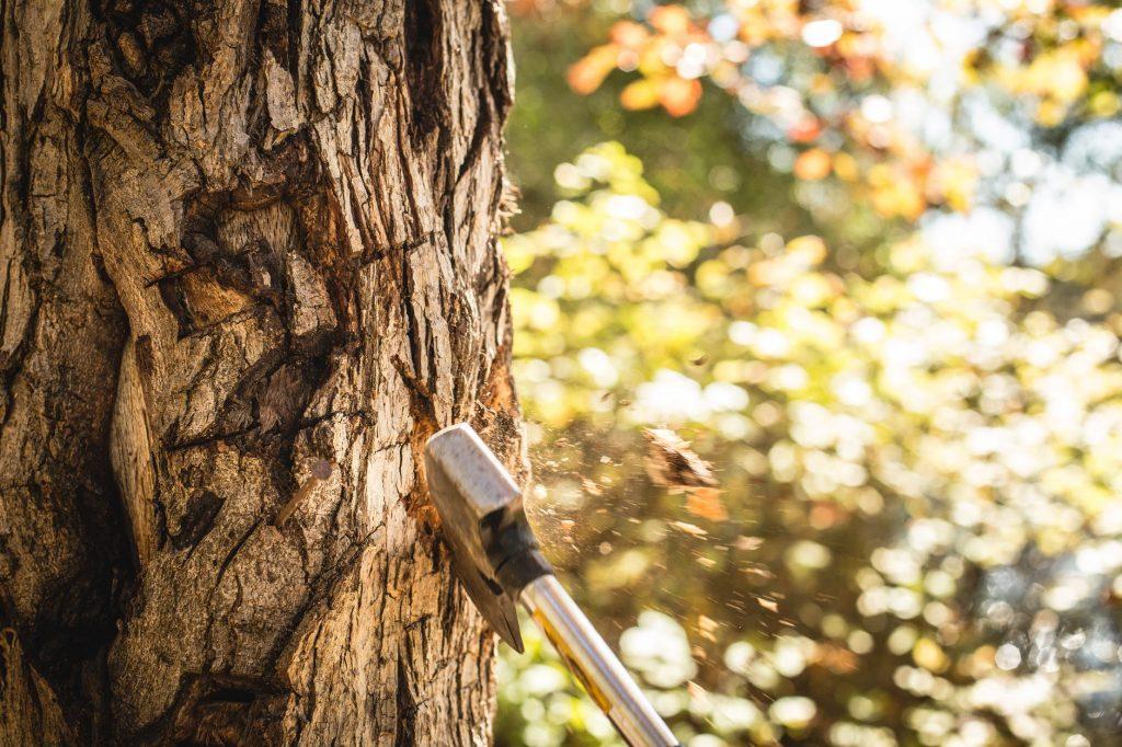 What Makes Tasmanian Huon Pine So Unique?